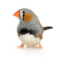Bird_zebra_finch_000004982532sm