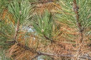 Pine Needles.jpg